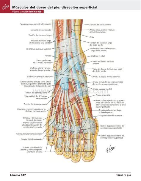 imagenes netter pdf atlas de anatom 237 a humana de netter 6ta edici 243 n pdf hd
