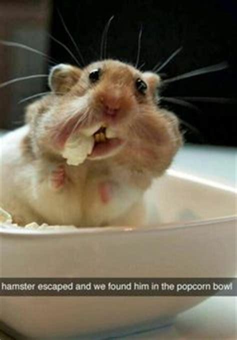 images  hamster memes  pinterest hamsters funny hamsters  roborovski hamster