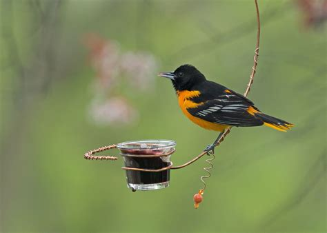 an oriole treat birds and blooms
