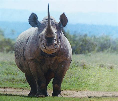 Rhinoceros Pictures and Rhinoceros Facts
