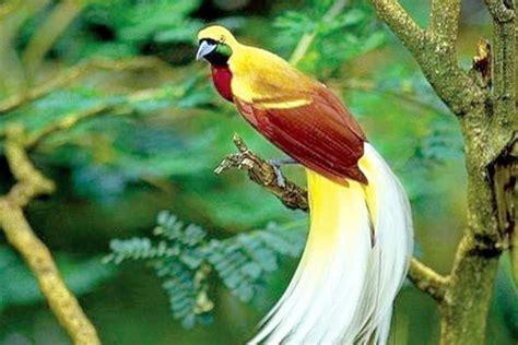 Kaos Plants And 16 burung cendrawasih ciri ciri dan habitat cendrawasih