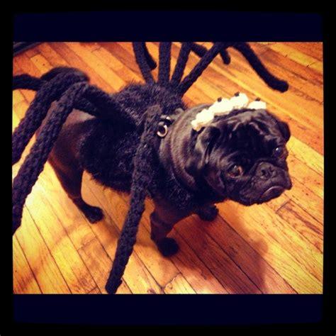 black pug spider costume spider pug pug pug and spider