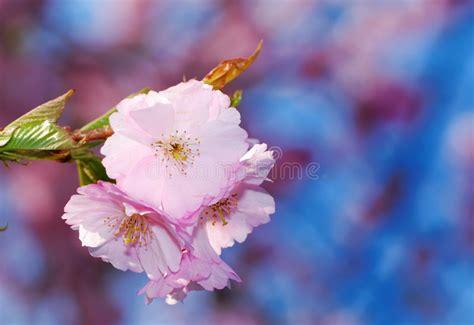 fiori di ciliegia fiori di ciliegia fotografia stock immagine di germoglio