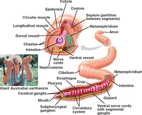 earthworm dissection nervous system earthworm dissection lab answers schoolworkhelper