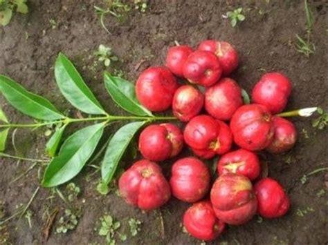 jenis tanaman obat bibit buah kalimantan