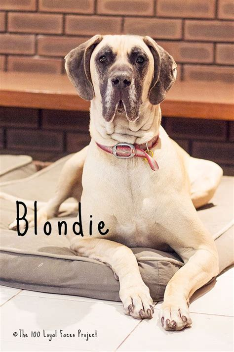 libro 100 great danes blondie the great dane www 100loyalfaces com the 100 loyal faces project great