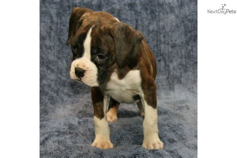 brindle boxer puppies for sale pin brindle boxer puppies for sale in michigan on