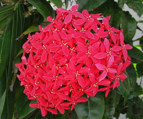 imagenes de flores isoras cruz de malta ixora usos y cuidados succulent avenue