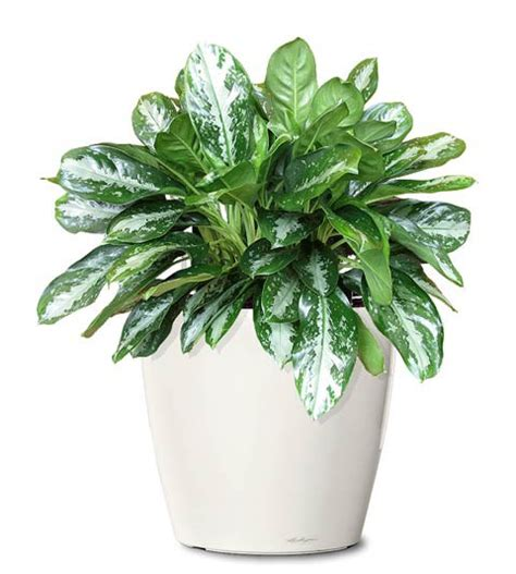 small indoor plants small ornamental plant key largo evergreen ornamental