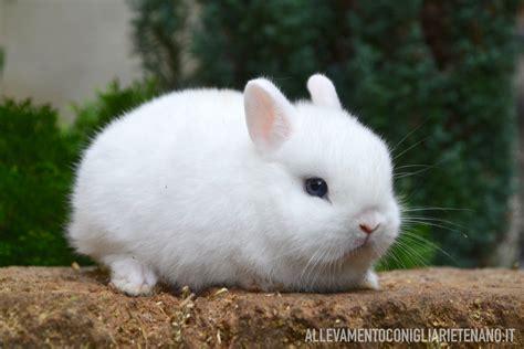 coniglietti nani alimentazione cucciolo coniglio nano ermellino la stalla dei conigli