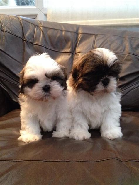 white and brown shih tzu beautiful brown and white puppy ready now waterlooville hshire pets4homes