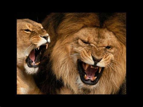 imagenes de animales fuertes 161 s 250 per ruidosos diez animales que emiten los sonidos m 225 s