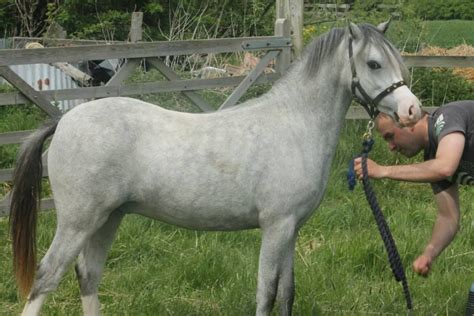welsh section a for sale welsh section a yearling show colt skegness