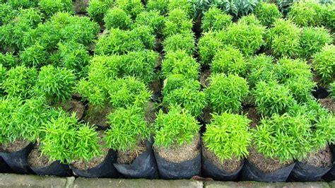 Bibit Tanaman Hias Puring Teri tanaman hias daun jasa tukang pembuatan taman dan kolam