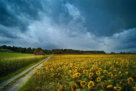 beautiful pictures  sunflowers