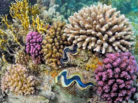 Batu Gambar Koral Otak Brain Coral kima kerang raksasa yang semakin langka cakrawala