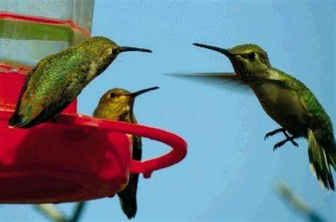 it s time for hummingbirds to return houston chronicle
