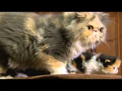 cute persian kittens youtube