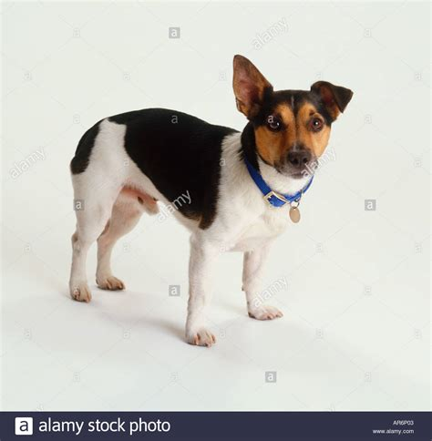 black white brown black white and brown terrier puppy cocking one ear stock photo
