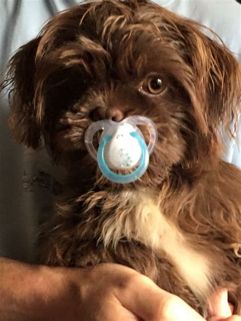 holy shih tzu 154 best images about holy shih tzu is that an ewok or a baby on