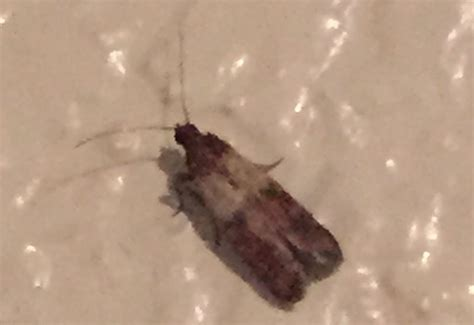 indian meal moth what s that bug