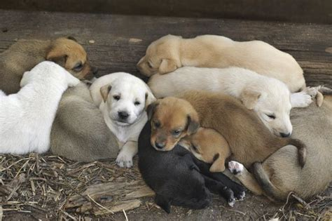 puppy litter can a litter of puppies fathers cuteness