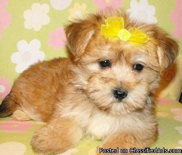 teacup yorkie for sale in baltimore md 17 best ideas about yorkie puppies for sale on yorkie dogs for sale