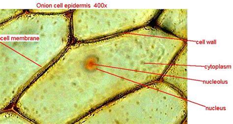 elodea cell diagram elodea leaf microscope labeled theleaf co