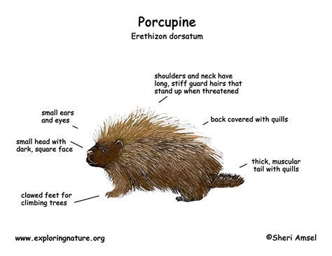 porcupine diagram wiring diagram logo wiring get free image about wiring