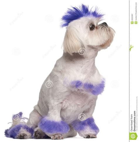 mohawk shih tzu shih tzu with purple mohawk 2 years royalty free stock photography image 20253387