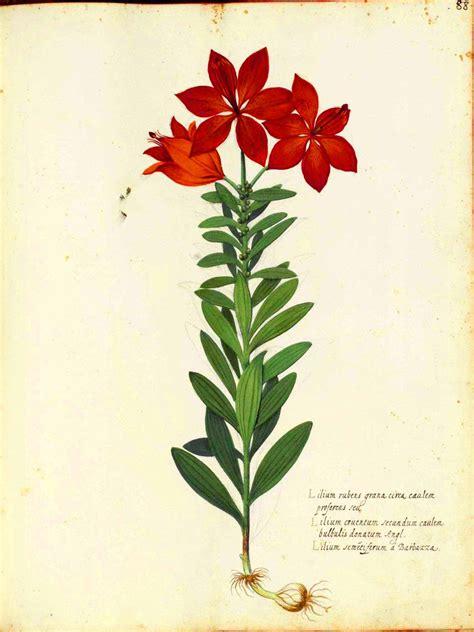 botanical flower carnation italian 11 botanical flower carnation italian 2 vintage printable at swivelchair media beta
