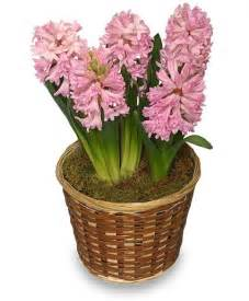Potted Flowers Potted Hyacinth 6 Inch Blooming Plant All House Plants