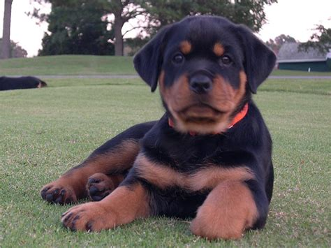 do rottweilers attack their owners 9 things you didn t about the rottweiler american kennel club