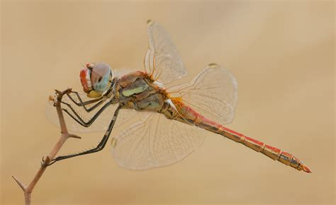 dragonfly project migrant dragonfly project dragonflies org uk