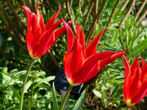 Cottage Garden China - tulips sissinghurst garden