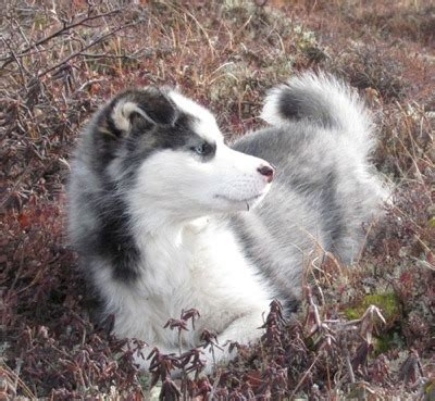 huskador puppy huskador 101 all about huskadors husky labrador mix