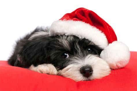 imagenes de animales navidad banco de im 193 genes 7 mascotas navide 241 as muy lindas