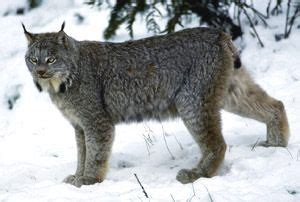 canadian snow lynx canada lynx canadiana pinterest