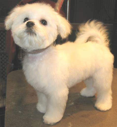 maltese puppy haircuts 17 best ideas about maltese haircut on maltese dogs maltese and maltipoo