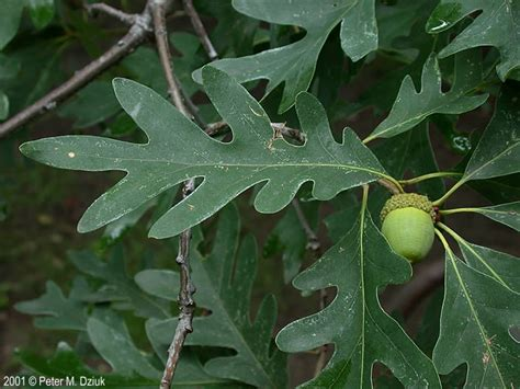 Quercus alba (White Oak): Minnesota Wildflowers