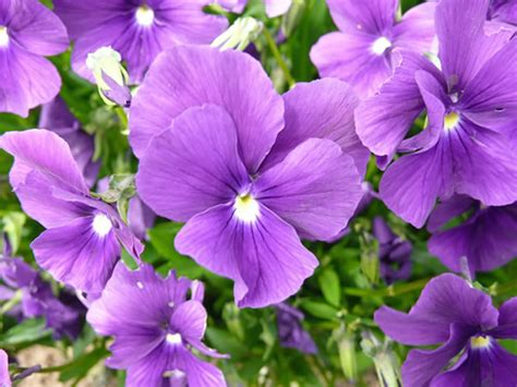 plant with purple flowers viola huntercombe purple plants oak leaf gardening