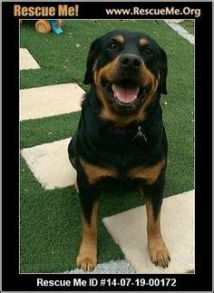 rottweiler rescue california 1000 images about rotti rescue on rottweiler rescue rottweilers and
