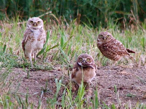 what will baby owls eat just about anything outdoors