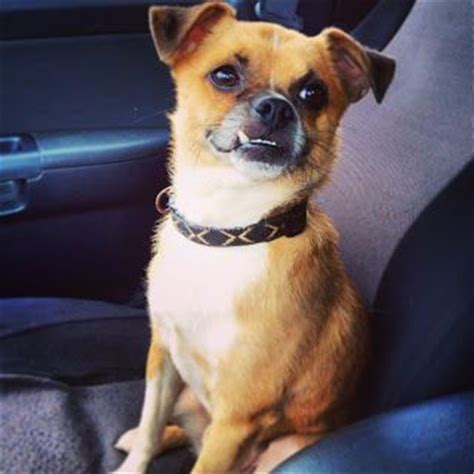 yorkie overbite 17 best images about epic overbites on adoption boston terriers and yorkie