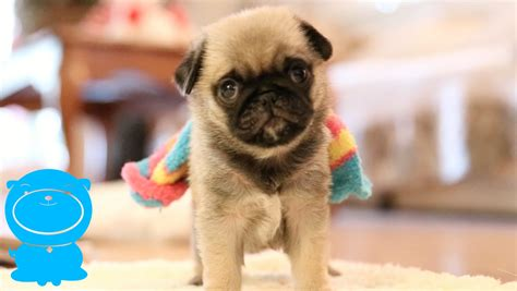 new pug baby pug puppy wears sock