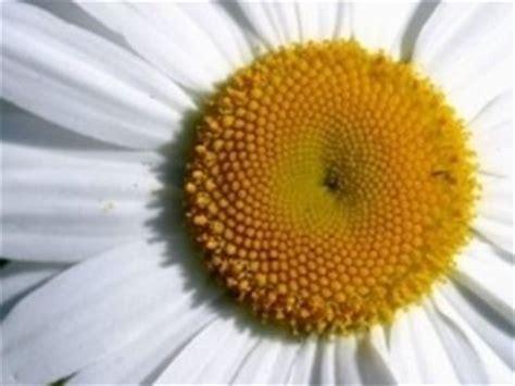 margherita fiore significato significato margherita significato fiori margherita