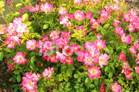 rose bed rose bed stock photos freeimages com