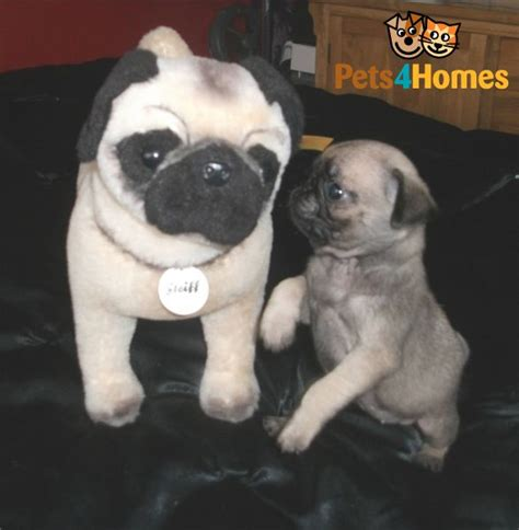 silver fawn pug puppies tiny teacup silver fawn pug puppy leeds west pets4homes