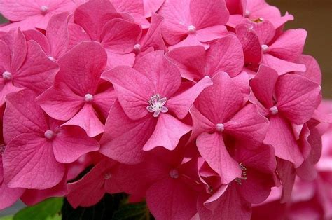 imagenes flores hortensias flores hortensias