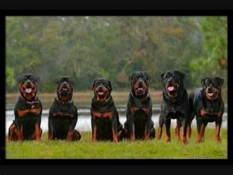 rottweiler vs pitbull fight rottweiler vs pitbull fight rottweilers